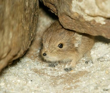 Short-Eared Elephant Shrew, Smithsonian National Zoological Park, Washington, D.C.