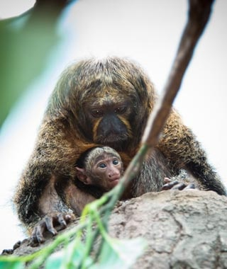 Toumi, Saki Monkey, Houston Zoo