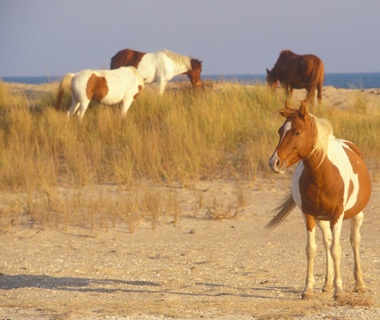 Assateague Beach, Virginia