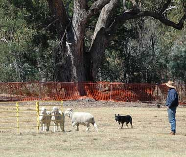 Australia National Sheep Dog Trials, Canberra, Australia