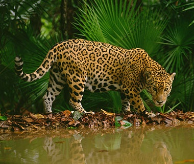 Jaguar Spotting, Belize