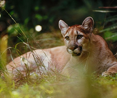 Florida Panther Festival