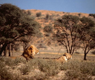 201303-w-best-vacations-for-cat-lovers-lion-safari