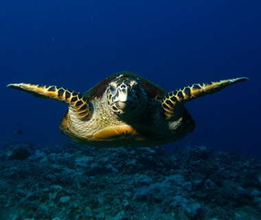 Hawksbill Turtle, West Palm Beach, FL