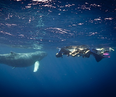 Humpback Whale, Turks and Caicos