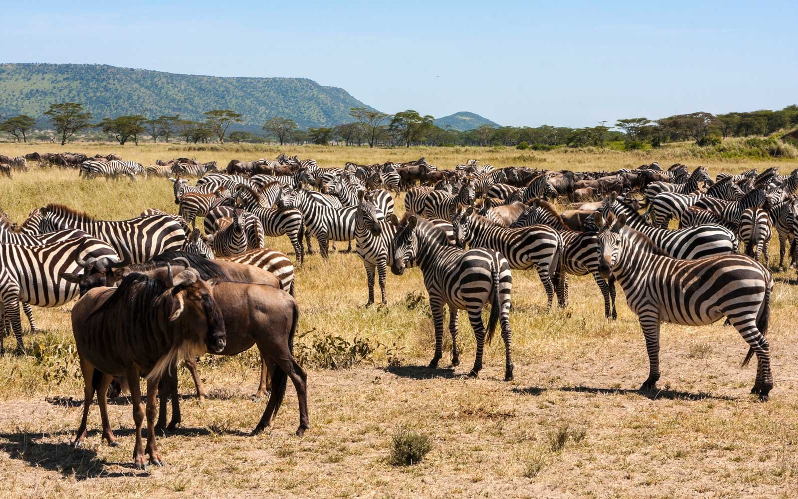 Wildebeest and Zebra Migration in Kenya