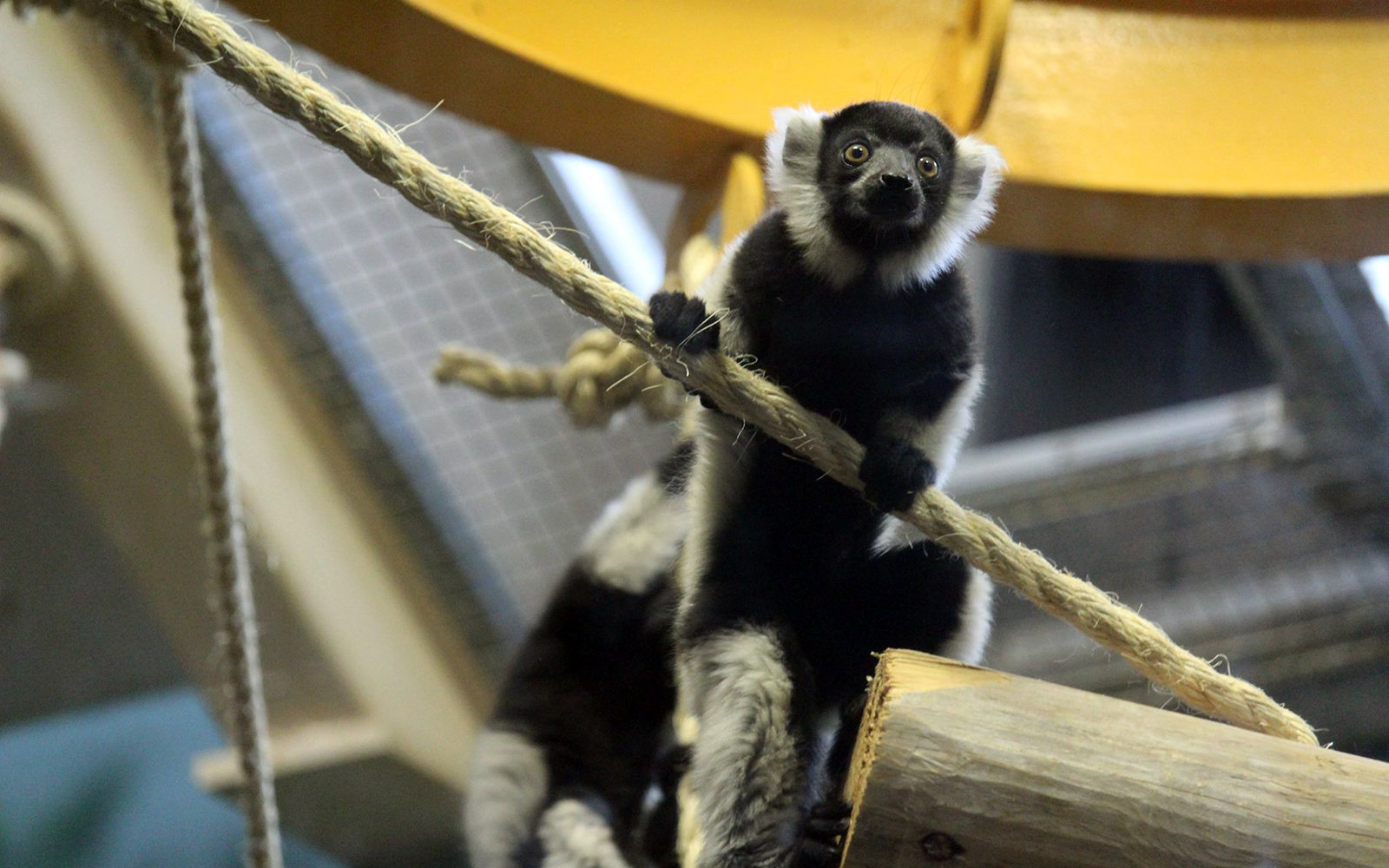 Baby Lemurs at the Philadephia Zoo