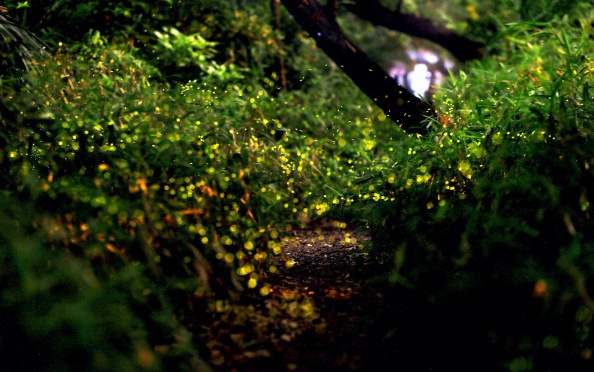 Forest Fireflies in Nagoya City, Japan