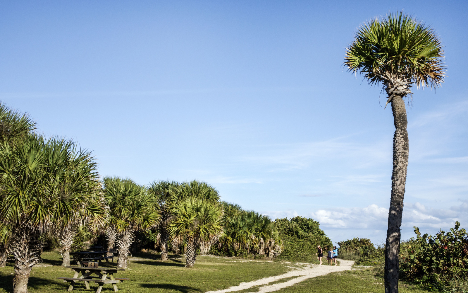 Sabal Palm Trees in Fort Pierce Inlet State Park