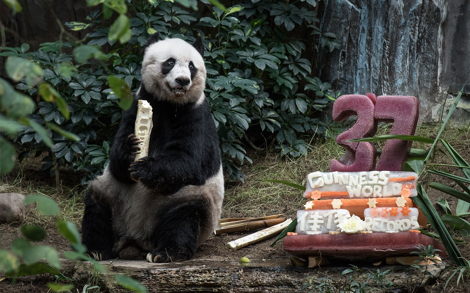 The World's Oldest Panda Had an Ice Cake at Her 37th Birthday Party