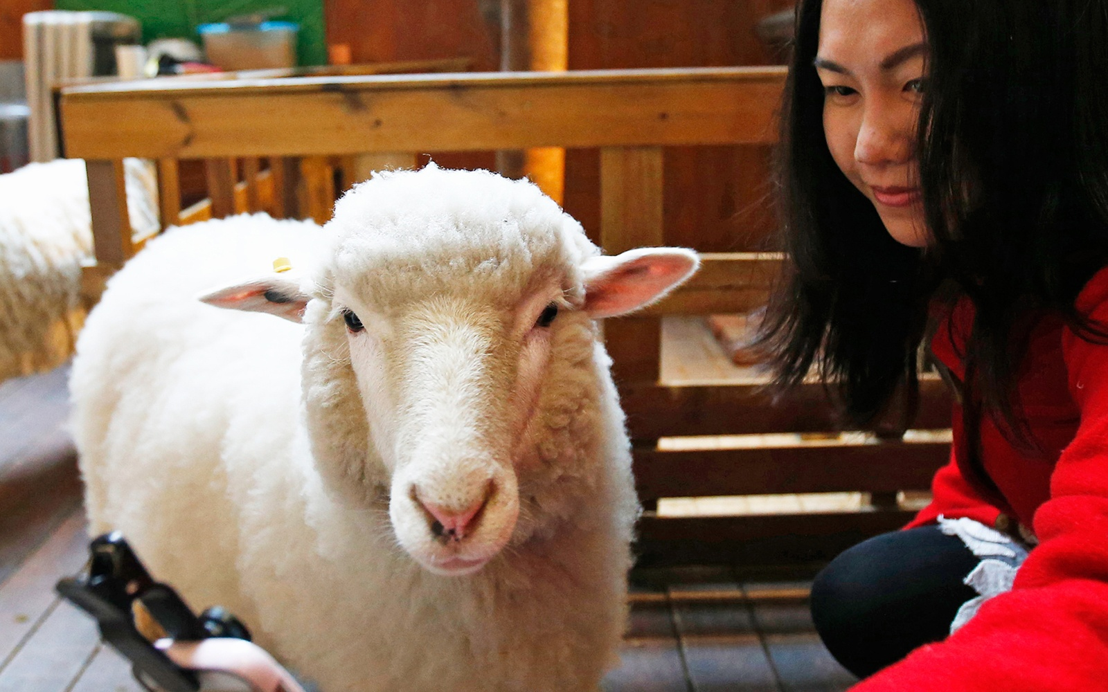 Thanks Nature, Cafe, sheep, selfie, Seoul, North Korea
