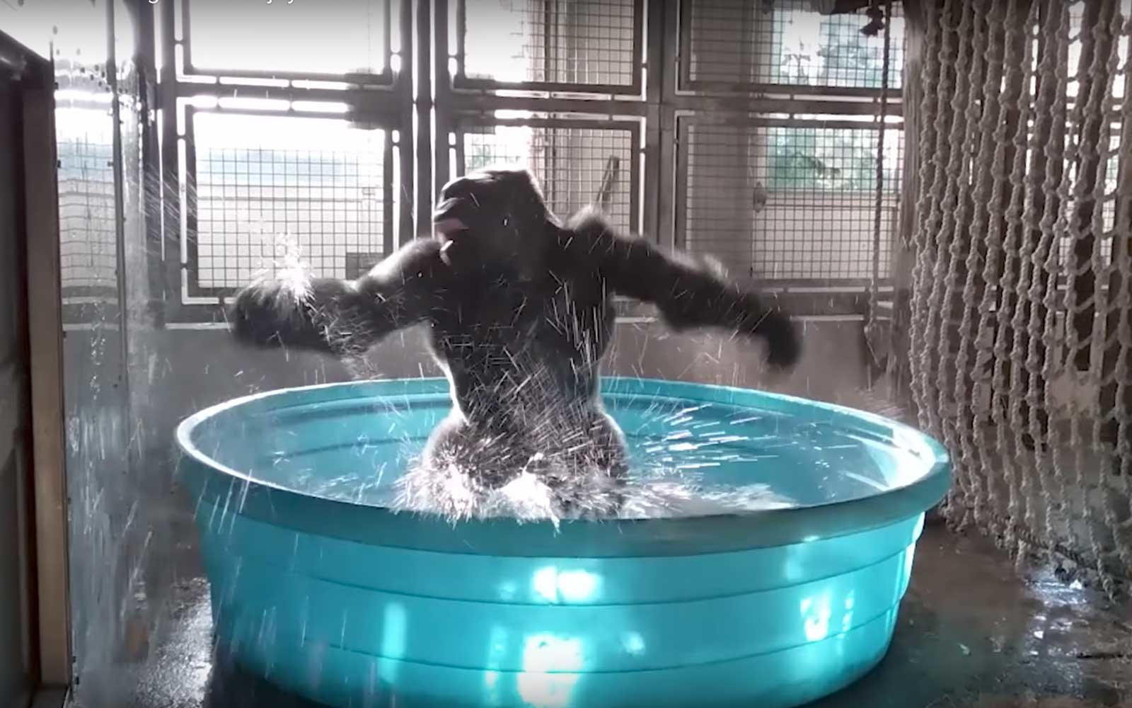 Watch A 300 Pound Gorilla Dance Like Nobody S Watching