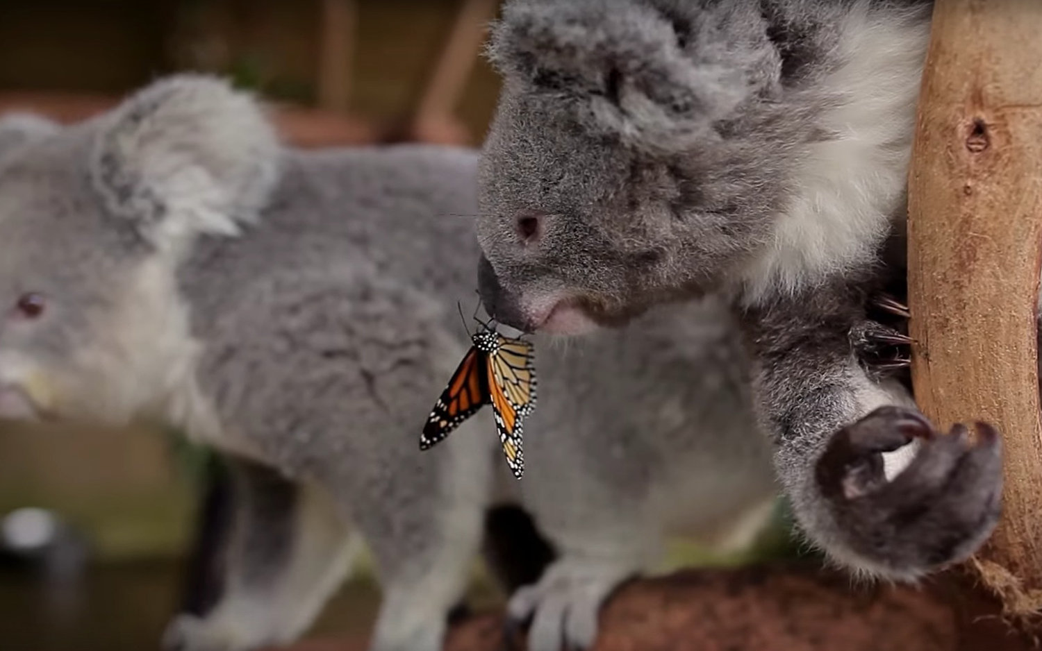 Video Watch A Butterfly Photobomb A Koala Bear Travel