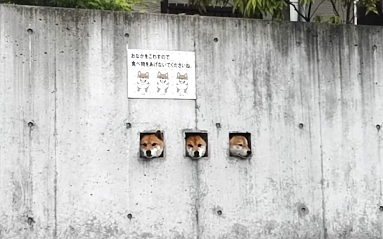 Forget the Cherry Blossoms, the 'Three Shibas' Are the Best Tourist Attraction in Japan (Video)