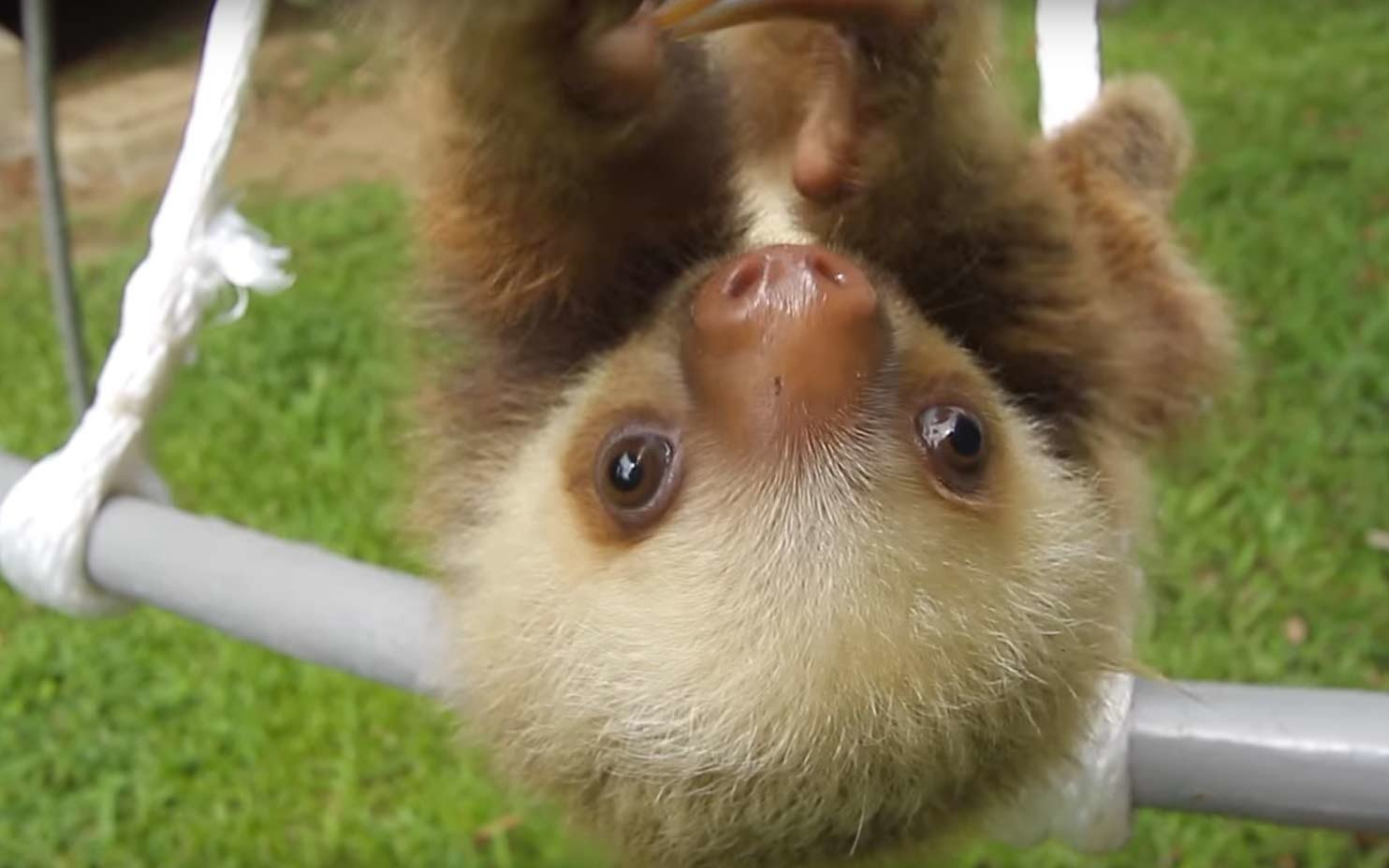 These Cute Baby Sloths In Costa Rica Will Cure Your Winter