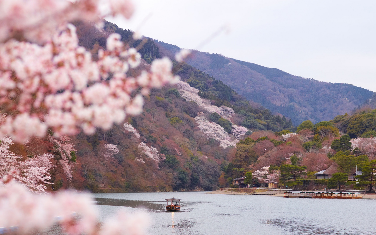 blooming cherry tree on a lake in Kyoto, Japan