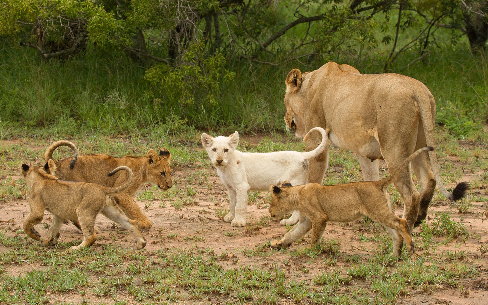 Where to See One of the Only Wild White Lions in the World