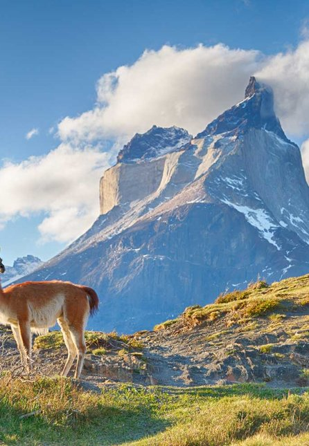 Guanaco in Chilean Patagonia