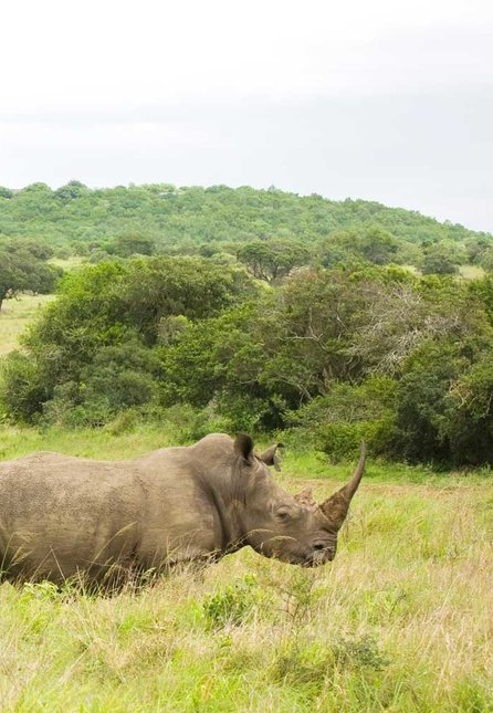 Rhino at andBeyond's Phinda Private Game Reserve, in South Africa