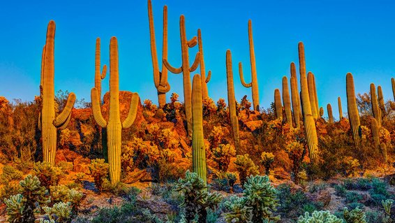 Saguaro National Park Arizona USA Cactus