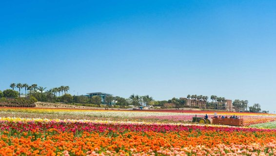 Flower Fields, Carlsbad, California