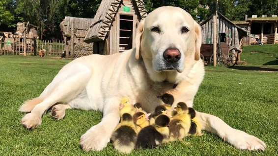 "A DOG has become ""dad"" to nine baby birds at Mountfitchet Castle, a tourist attraction near Stansted Airport in Essex."