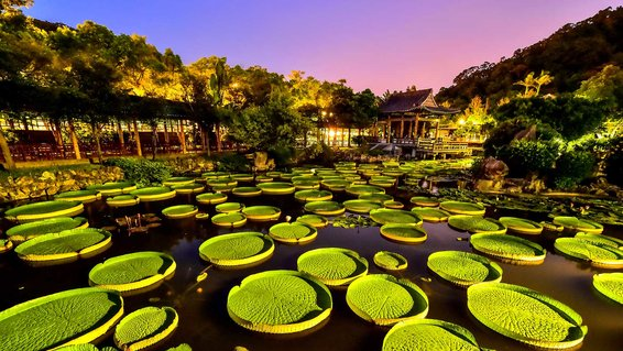 This is the Santa Cruz waterlily  landscape in Shuangxi Park near the official residence of Shilin, Taipei.