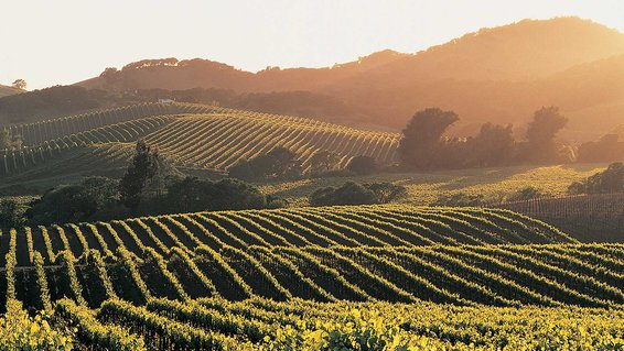 Vineyard, Napa Valley, California