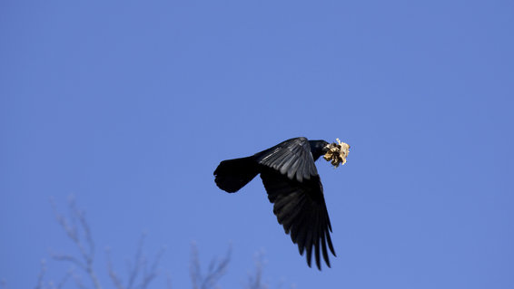 Rooks are being trained to collect trash at this historic French theme park.