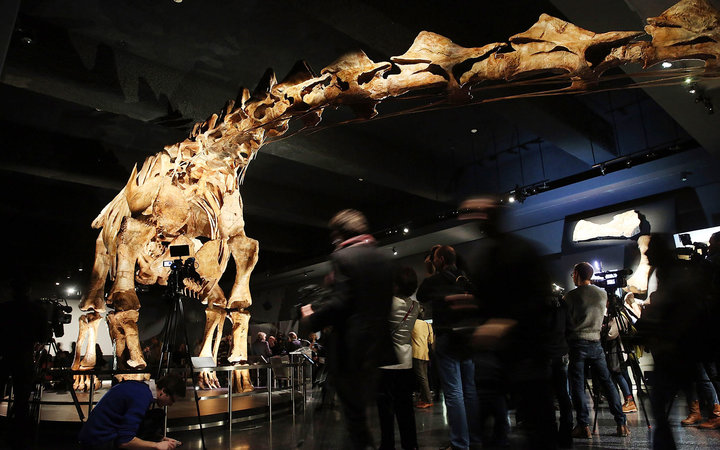 NEW YORK, NY - JANUARY 14:  A replicaof one of the largest dinosaurs ever discovered is unveiled at the American Museum of Natural History on January 14, 2016 in New York City. The replica of the  Titanosaur   weighs about 70 tons, is 17 feet tall and st