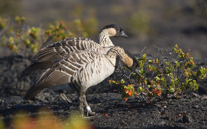 Hawaii Volcanoes National Park two Nene Geese by Ohelo Berries