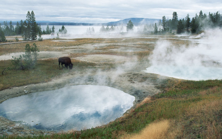 Bison Grazing Near Hot Springs Yellowstone