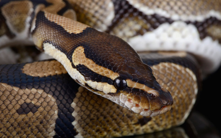 There's a Giant Snake Loose in Maine and His Name Is Wessie
