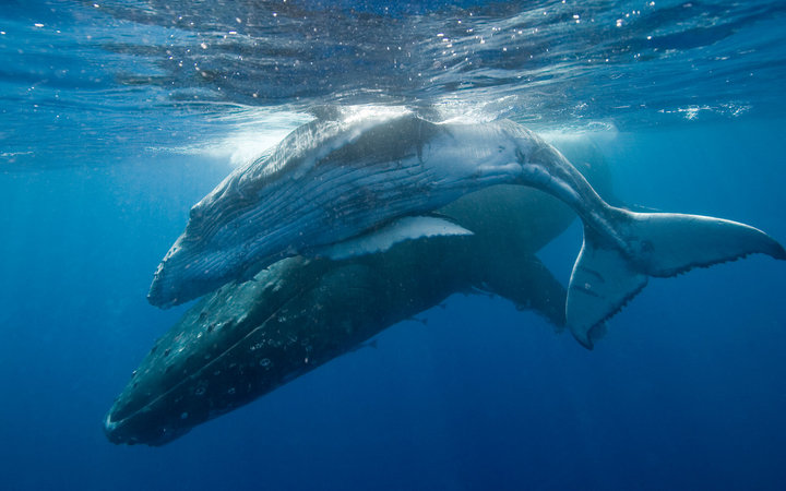 Most Humpback Whales Will Be Removed From the Endangered Species List