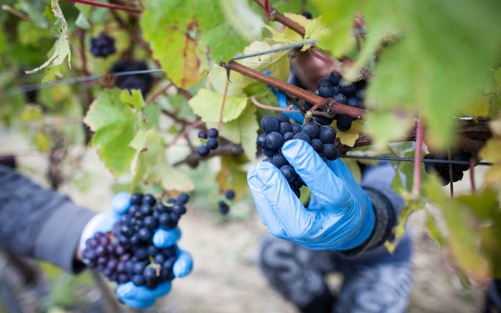 England Could Become Leading Wine Producer