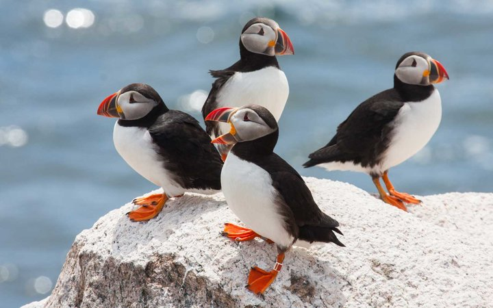 four puffins hanging out on a rock.
