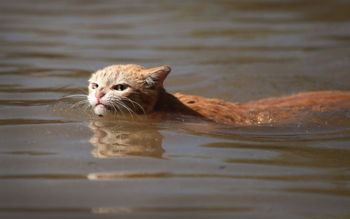 HOUSTON, TX - AUGUST 30:  A cat tries to find dry ground around an apartment complex after it was inundated with water following Hurricane Harvey on August 30, 2017 in Houston, Texas. Harvey, which made landfall north of Corpus Christi August 25, has dump