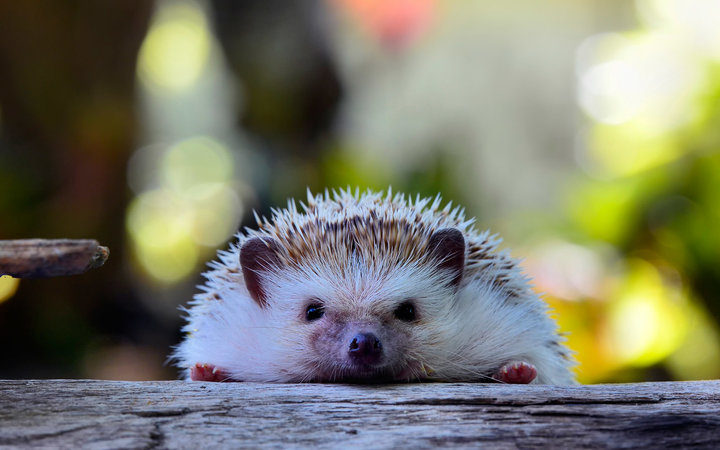 Young hedgehog in natural habitat ,Hedgehog  bokeh  background