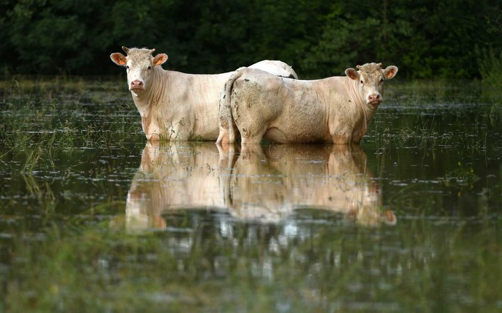 Two cows stand in a flooded medow  following a heavy rain storm on June 11, 2018, in Tennie, northwestern France.