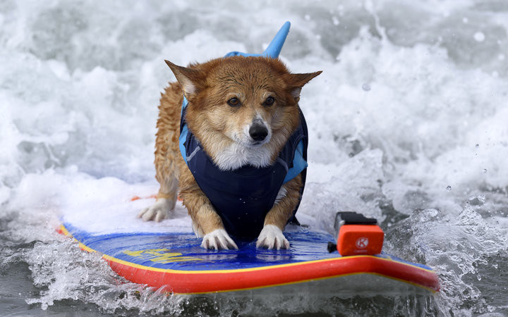 JoJo the Super Corgi during the 11th annual Helen Woodward Animal Centers Surf Dog Surf-A-Thon in Del Mar, California