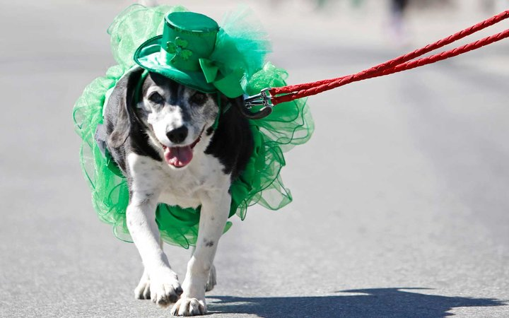 Mona the dog is dressed for the St. Patrick's Day festivities as she marches in the parade in Portland.