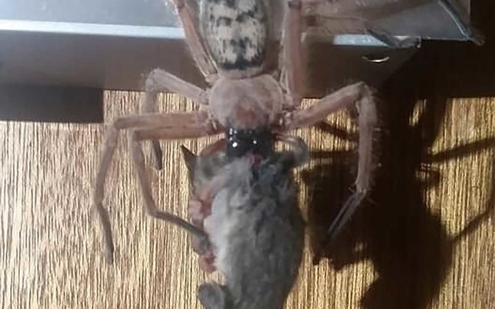 huntsman spider eating possum