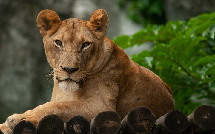 Lioness at a zoo