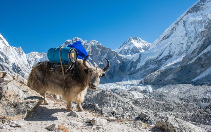 Yak carrying barrel on the way to Everest Base Camp in Nepal.