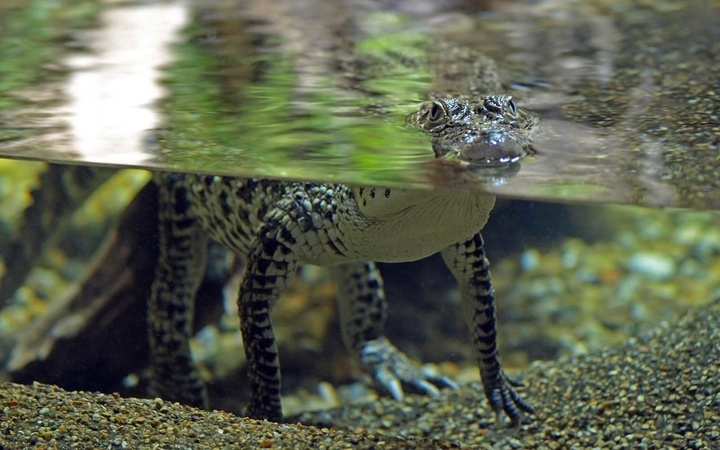 Crocodile swims at Skansen Aquarium in Sweden