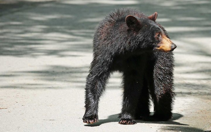 Black bear in Tennessee
