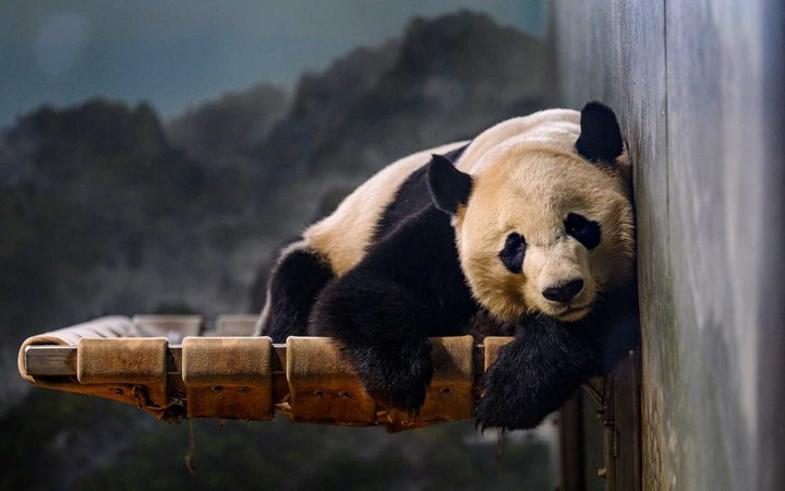 Giant panda Bei Bei rests at the Smithsonian's National Zoo in Washington, DC on November 14, 2019.
