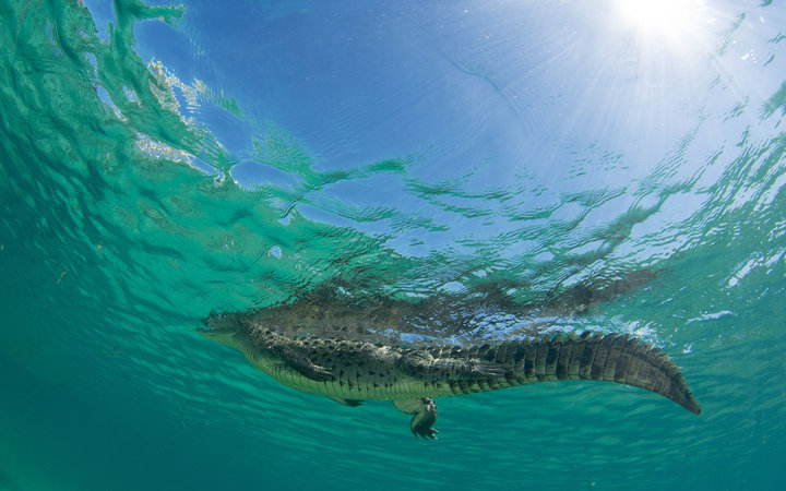 An alligator hovers near the surface of the water
