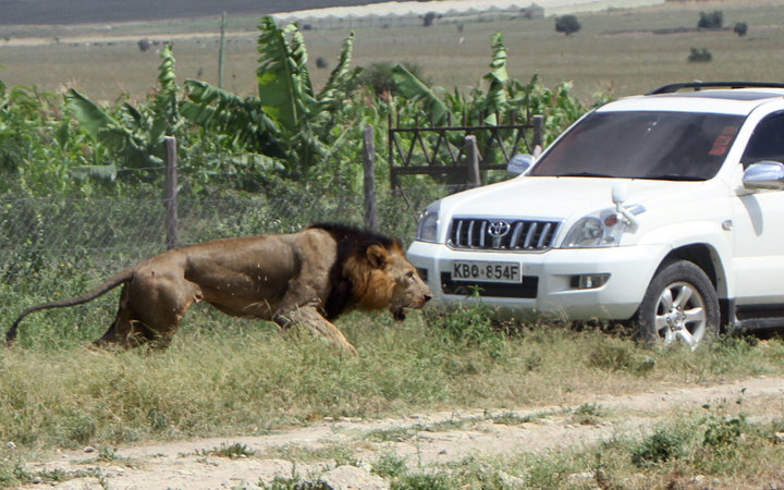mohawk the lion shot dead