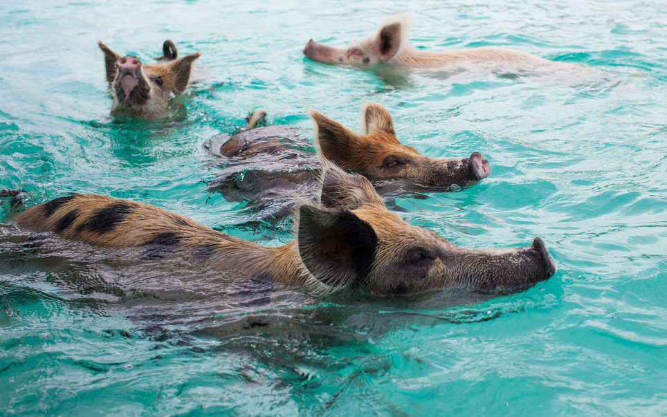 Bahamas pigs swimming